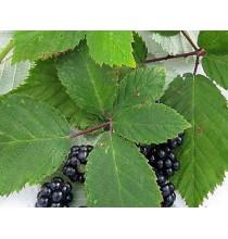 LIŚĆ JEŻYNY suszony - zioła z czystych terenów Kurpi, ręcznie zbierane (50g)
