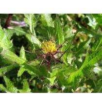 DRAPACZ suszony - zioła z czystych terenów Kurpi, ręcznie zbierane (50g)