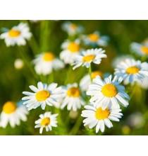 RUMIANEK suszony - zioła z czystych terenów Kurpi, ręcznie zbierane (50g)