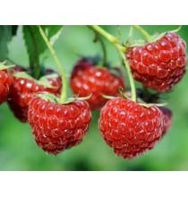 MALINA suszone owoce EKO - zioła z czystych terenów Kurpi, ręcznie zbierane (50g)