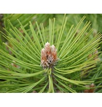 PĄCZKI SOSNY suszone - zioła z czystych terenów Kurpi, ręcznie zbierane (50g)
