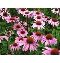 JEŻÓWKA (Echinacea) ziele suszone - zioła z czystych terenów Kurpi, ręcznie zbierane (50g)