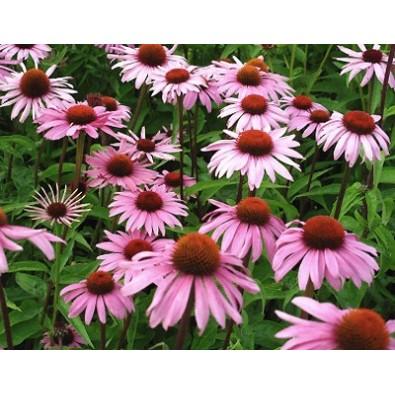 JEŻÓWKA PURPUROWA (Echinacea) - ziele suszone (100g) ODPORNOŚĆ!