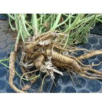 KORZEŃ PRAWOŚLAZU suszony - zioła z czystych terenów Kurpi, ręcznie zbierane (50g)