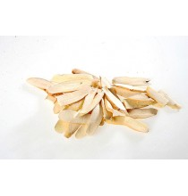 BIAŁA PEONIA (Piwonia) korzeń cięty (50g)
